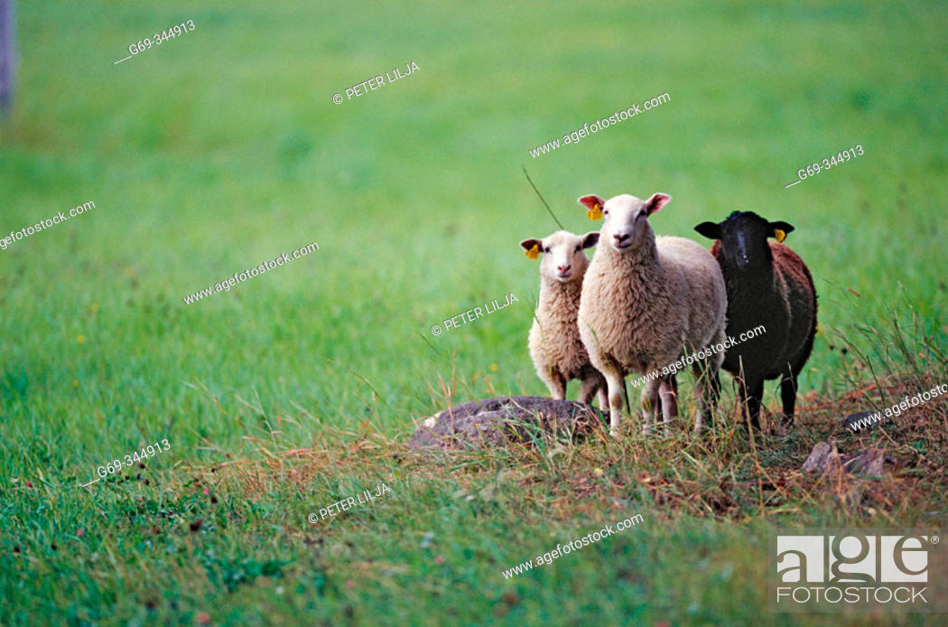 Stock Photo: Three sheep on field. Bergliden, Västerbotten, Sweden.