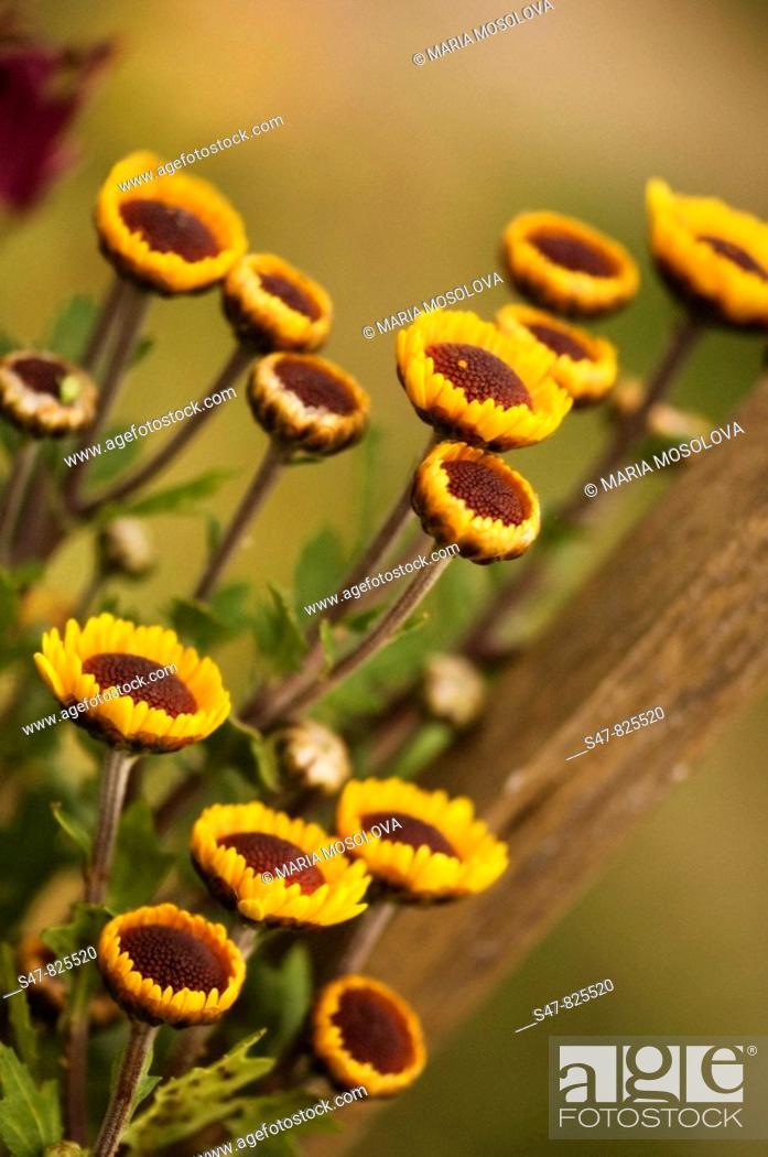 Stock Photo: Unfolding Yellow Chrysanthemum Flowers.