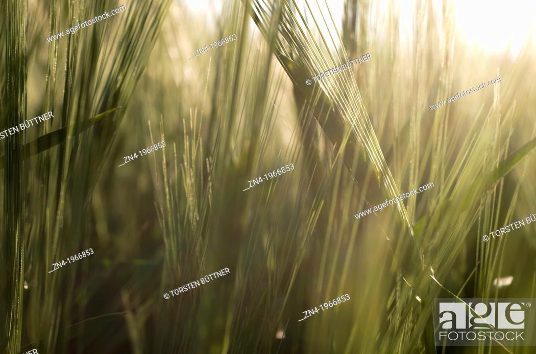 Stock Photo: Wheat Field Detail at Sunset near Bad Schallerbach, Upper Austria, Austria.
