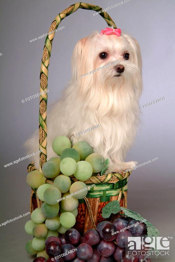 Imagen: posed, domestic, pose, house pet, canines, maltese.