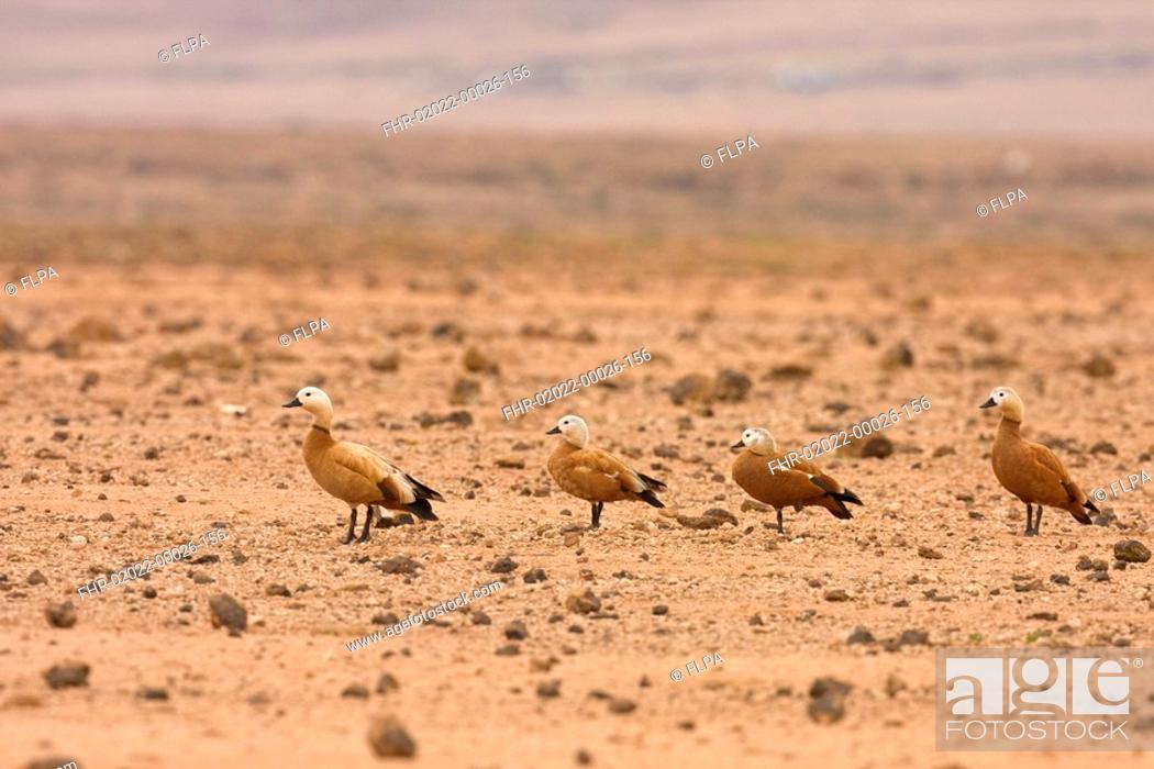 Stock Photo: Ruddy Shelduck Tadorna ferruginea four adults, standing in desert habitat, Los Molinos, Lanzarote, Canary Islands.