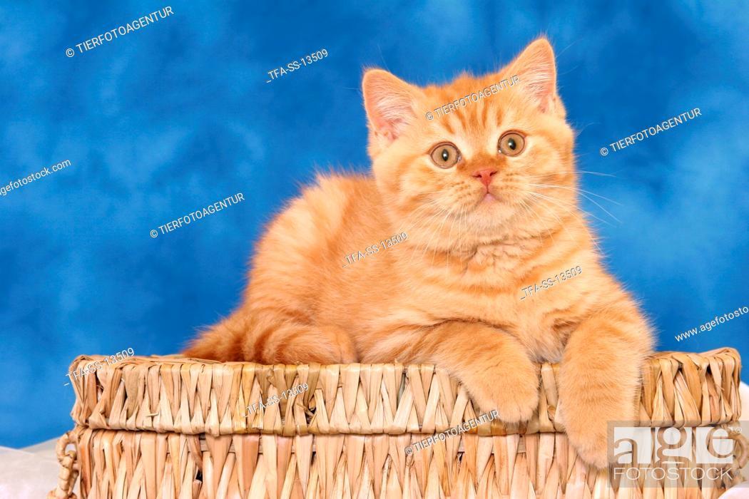 Stock Photo: lying British Shorthair kitten.
