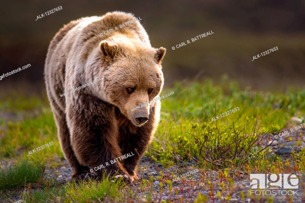 Photo de stock: Close Up Of A Grizzly, Denali National Park And Preserve, Interior Alaska, USA.