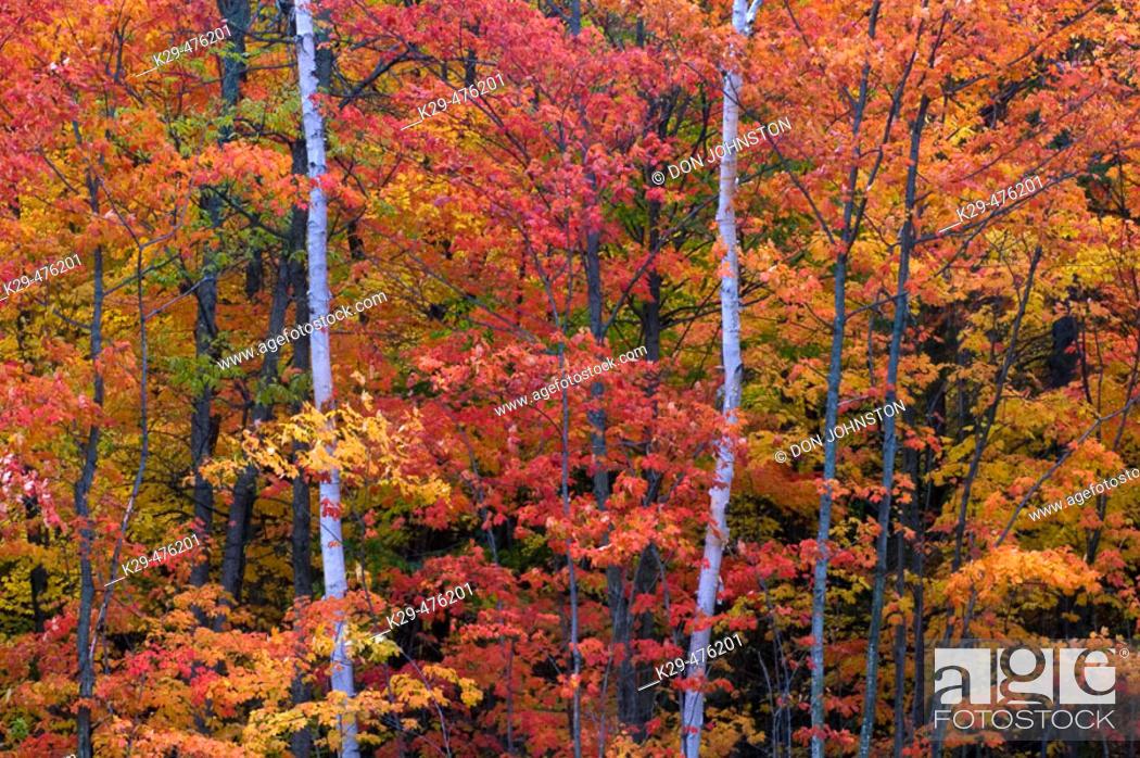 Stock Photo: Maple and birch. Webbwood. Ontario. Canada.