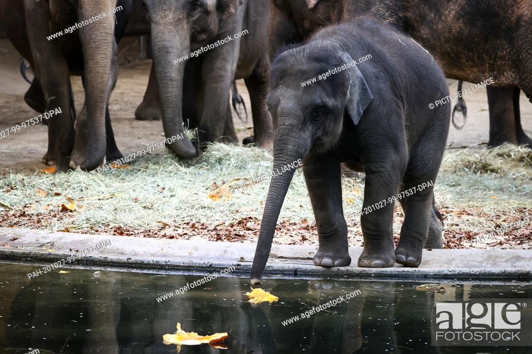 Stock Photo: 27 October 2020, Hamburg: The elephant group at Hagenbeck Zoo is provided with pumpkins, apples and other food at a media event before Halloween.