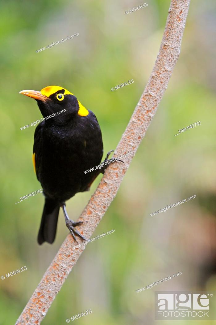 Stock Photo: Regent Bowerbird (Sericulus chrysocephalus), male, Queensland, Australia.