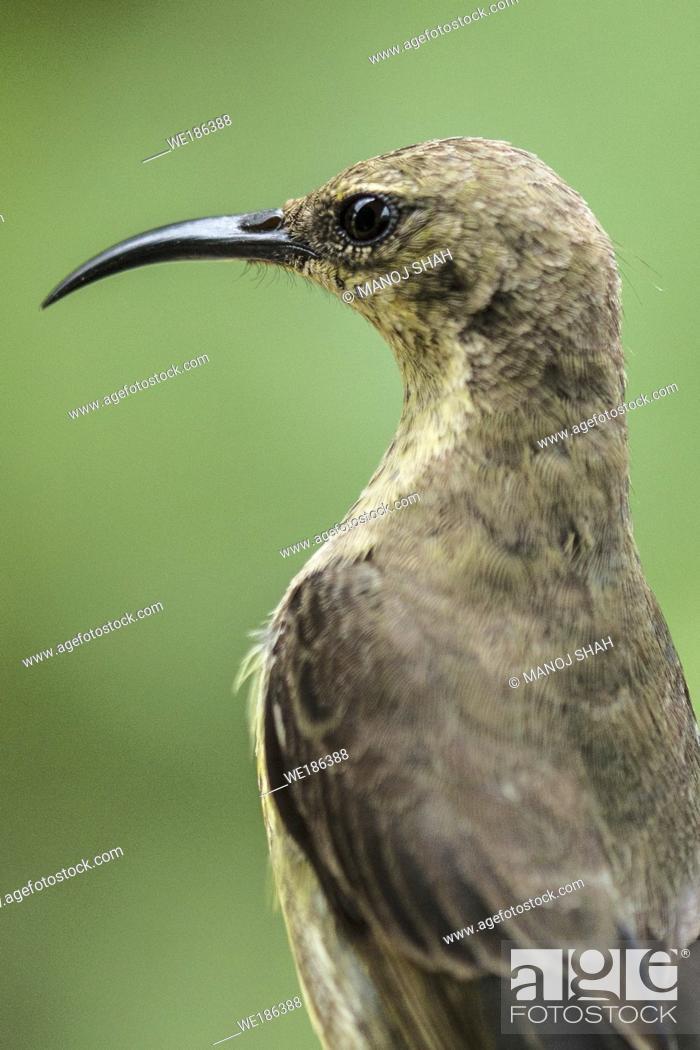 Stock Photo: Female Amethyst Sunbird.