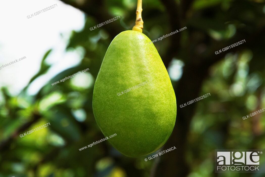 Stock Photo: Avocado on a tree, Valle del Cauca, Colombia.