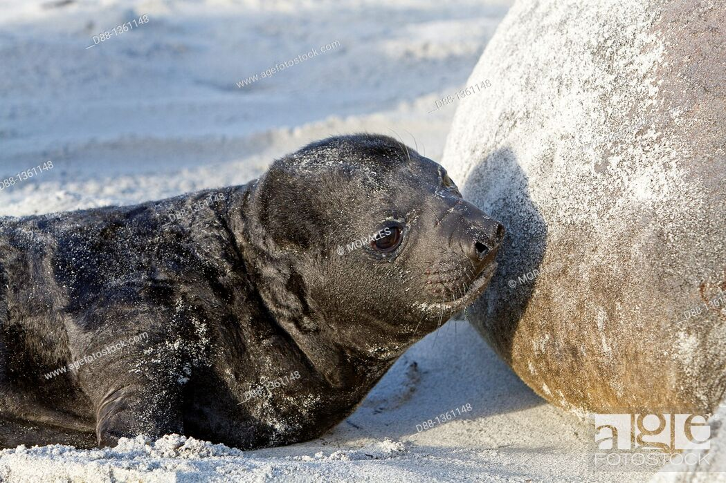 Stock Photo: Falkland Islands , Sea LIon island , Southern Elephant Seal Mirounga leonina , baby.