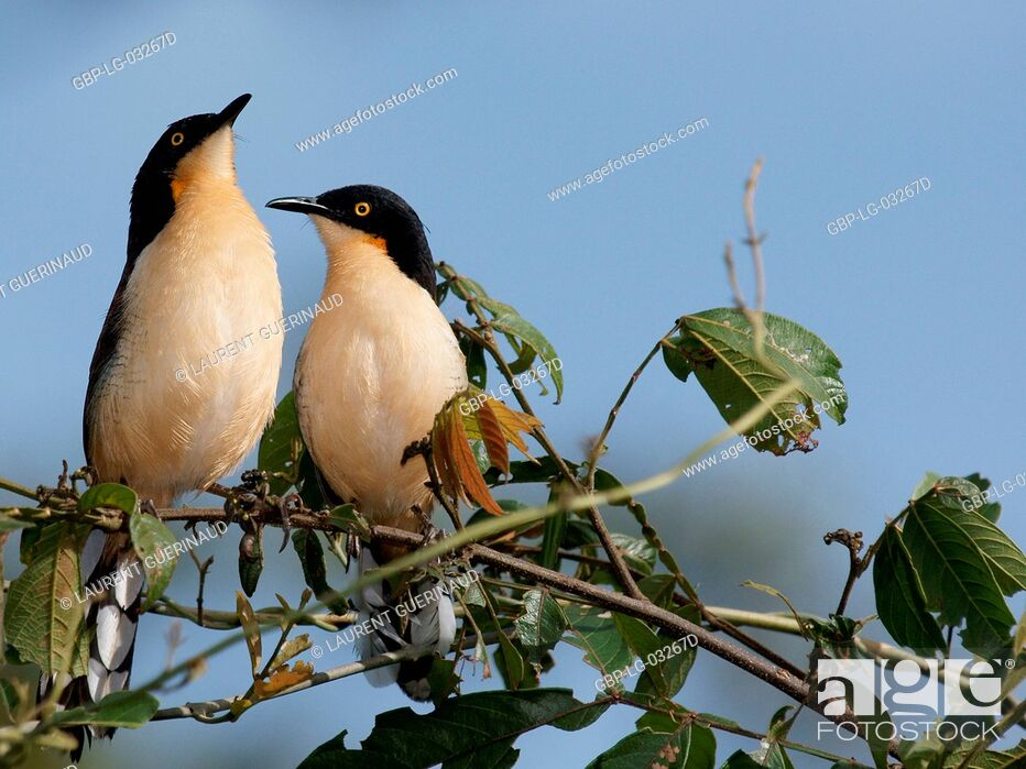 Stock Photo: Ave, Thrush-pity-swamp, Pantanal, Mato Grosso do Sul, Brazil.