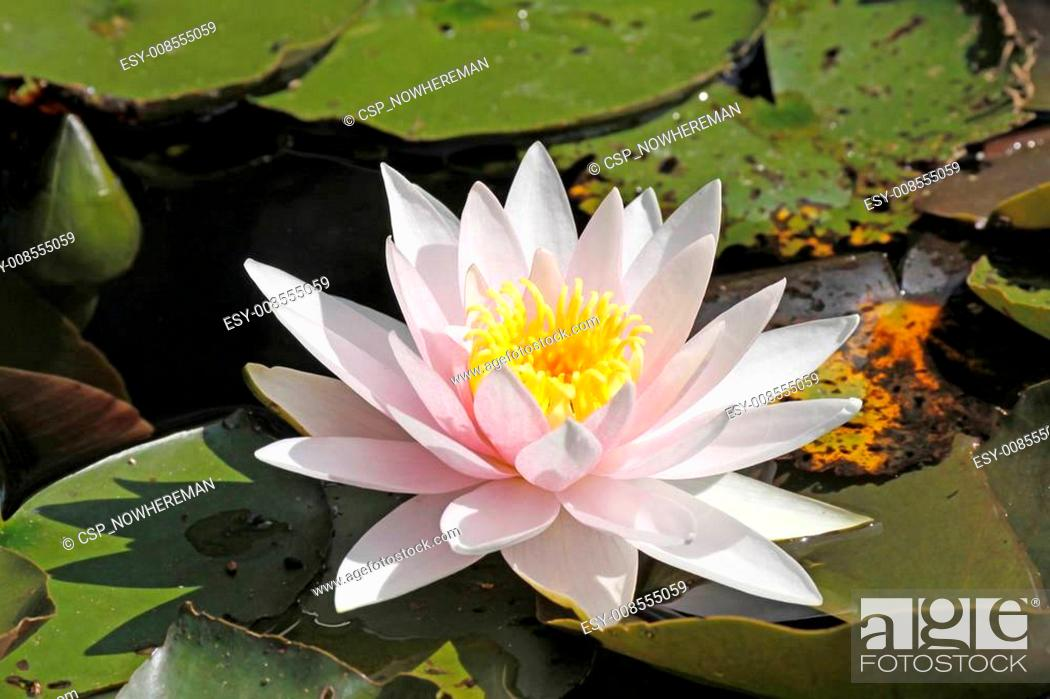 Stock Photo: Water-Lily, Nymphaea Hybrid.