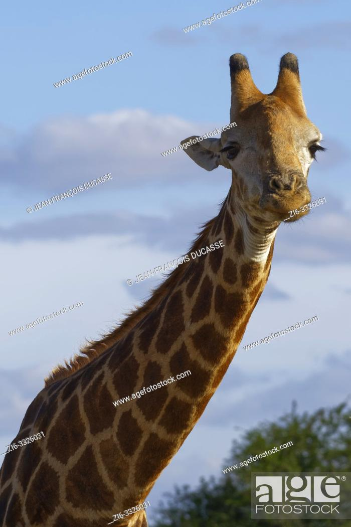 Stock Photo: South African giraffe (Giraffa camelopardalis giraffa), adult, animal portrait, Kruger National Park, South Africa, Africa.