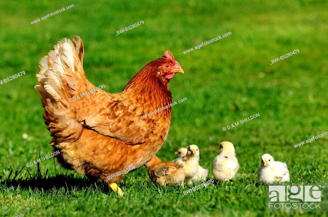 Stock Photo: domestic fowl Gallus gallus f. domestica, hen with chicks in a meadow, Germany, Bavaria.