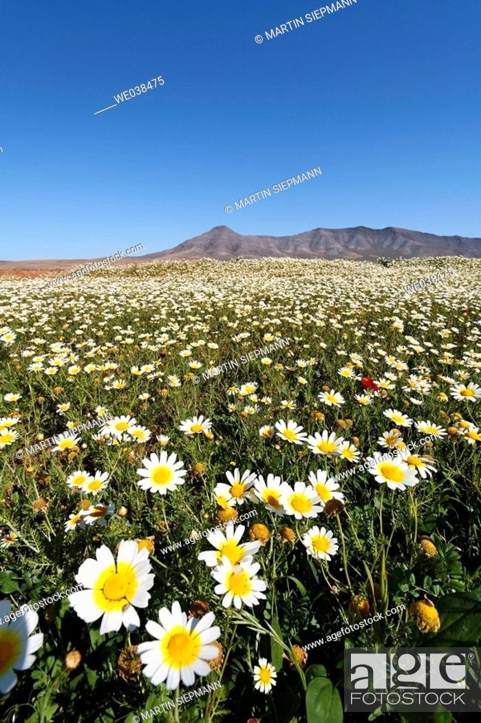 Stock Photo: Blooming daisies, Cuchillos, Fuerteventura, Canary Islands.