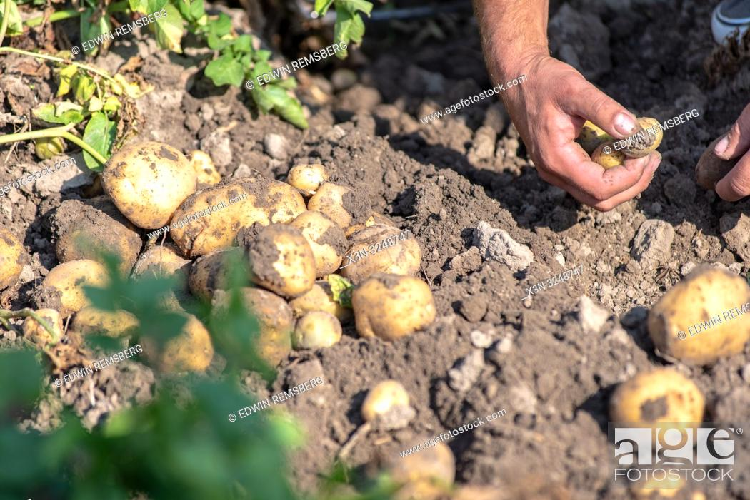 Imagen: Man's hand sifts through newly dug up potatoes (olanum tuberosum), Sieradz, ŠódŠº Voivodeship, Poland.