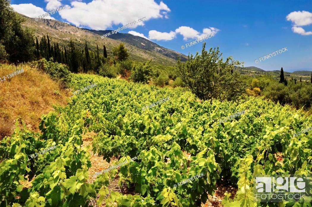 Stock Photo: Unique Robola Grape Vineyards of Kefalonia, Ionian Islands, Greece.