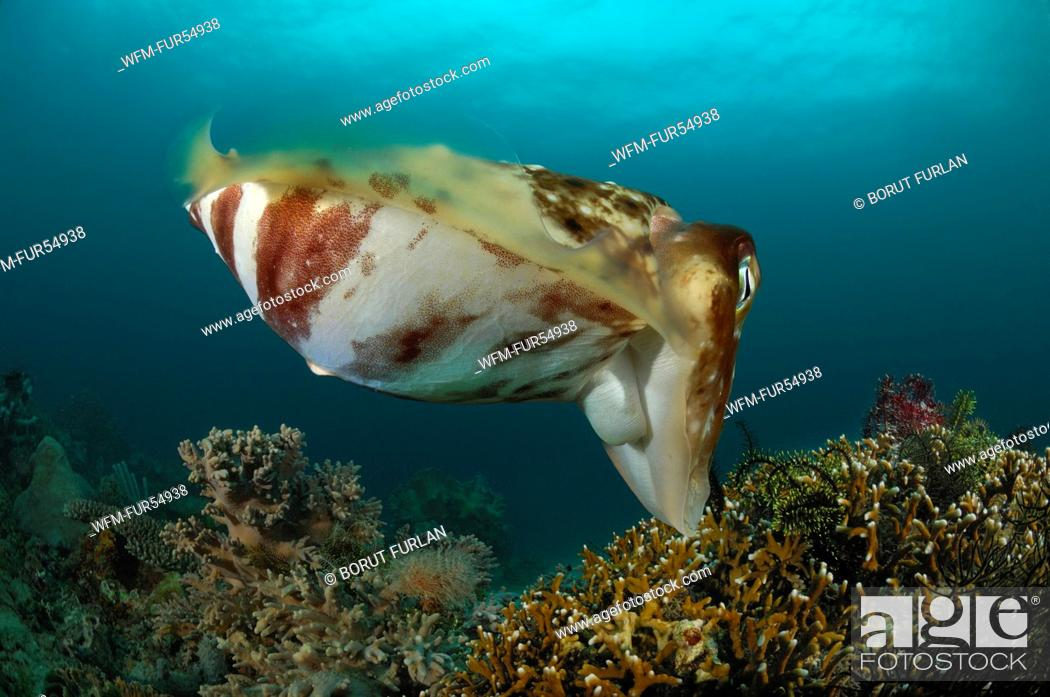 Stock Photo: Broadclub Cuttlefish care for ist Eggs hidden in Corals, Sepia latimanus, Lembeh Strait, North Sulawesi, Indonesia.