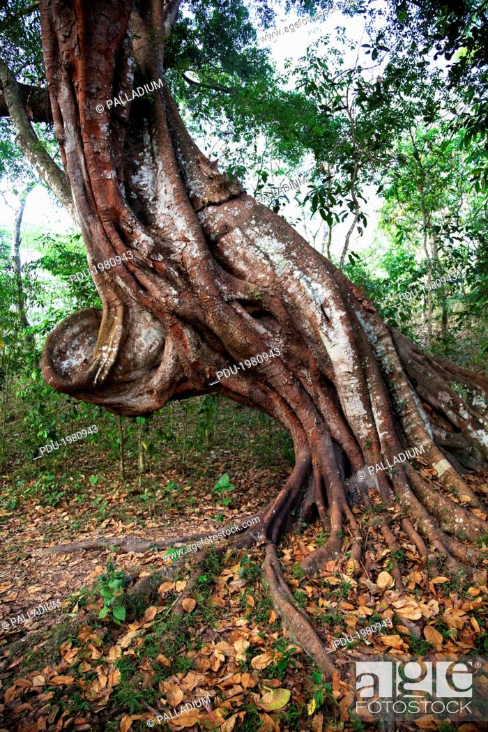 Stock Photo: a large twisted tree trunk growing in the jungle in Periyar Wildlife Sanctuary.