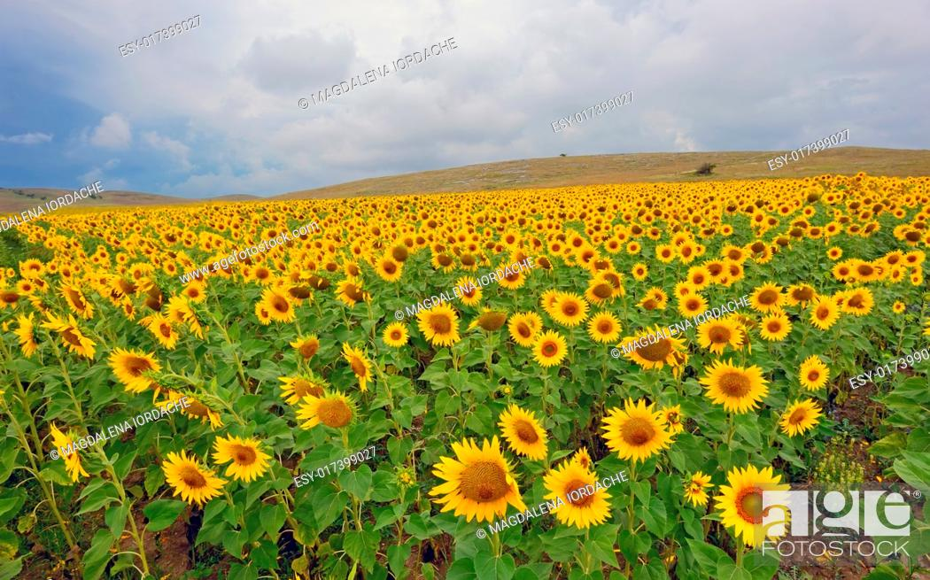 Stock Photo: field of blooming sunflowers in summer time.
