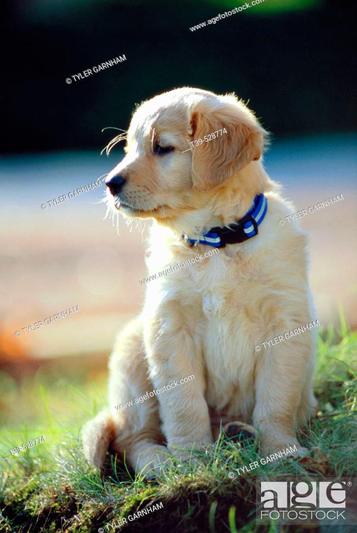 Stock Photo: Golden Retriever Puppy. Vancouver, British Columbia, Canada.