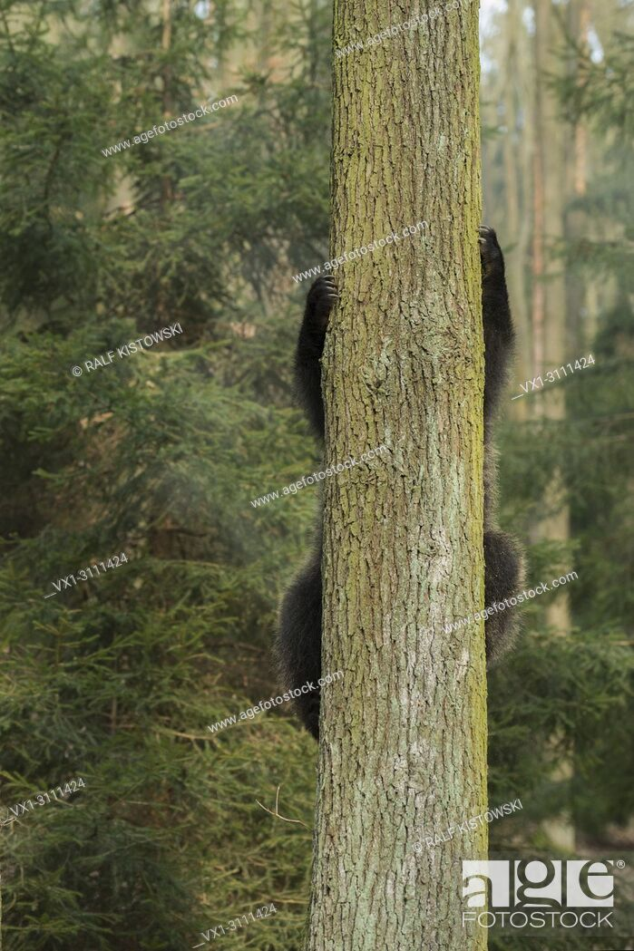 Stock Photo: European Brown Bear / Europaeischer Braunbaer ( Ursus arctos ), young playful cub, climbing up a tree, funny point of view, humorous. .
