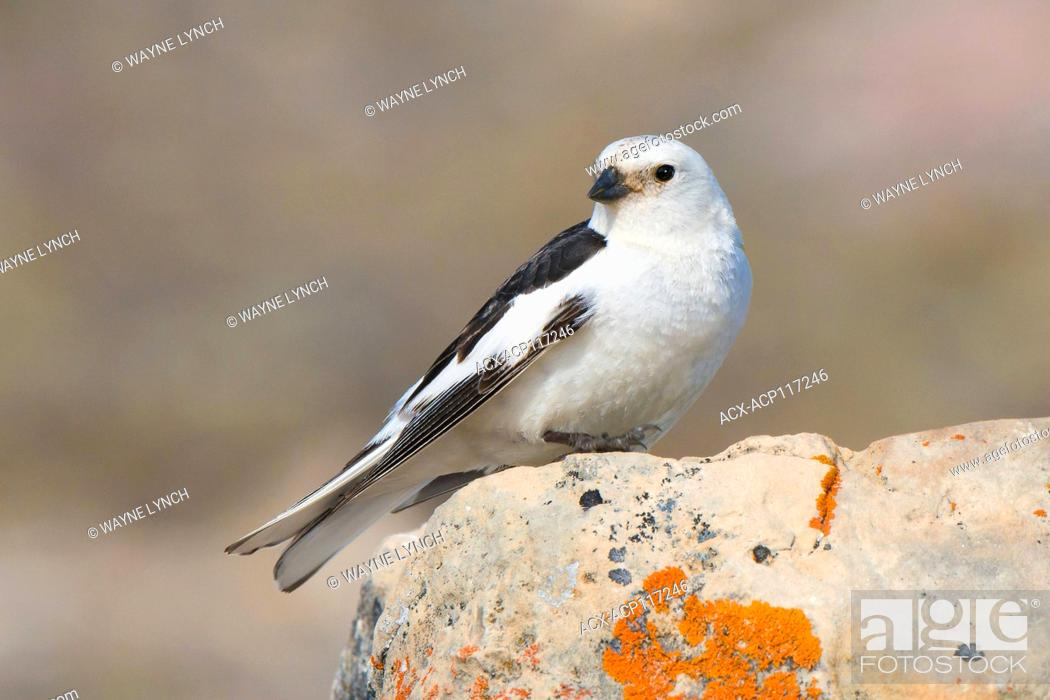 Stock Photo: Adult male snow bunting (Plectrophenax nivalis) delivering food to its nestlings, Victoria Island, Nunavut, Arctic Canada.