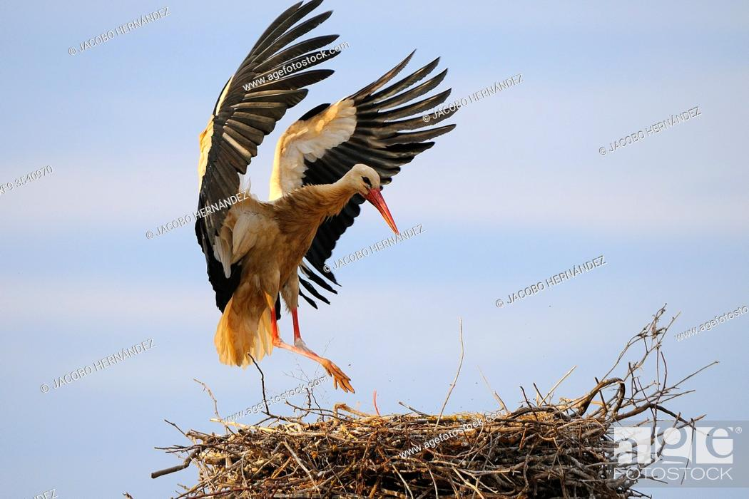 Stock Photo: White stork in the nest (Ciconia ciconia) Olivenza. Badajoz province. Extremadura. Spain.