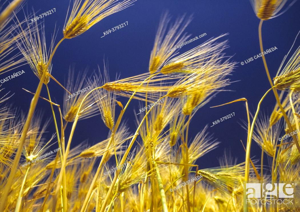 Stock Photo: Barley, a hardy cereal that has coarse bristles extending from the ears. It is widely cultivated, chiefly for use in brewing and stockfeed.