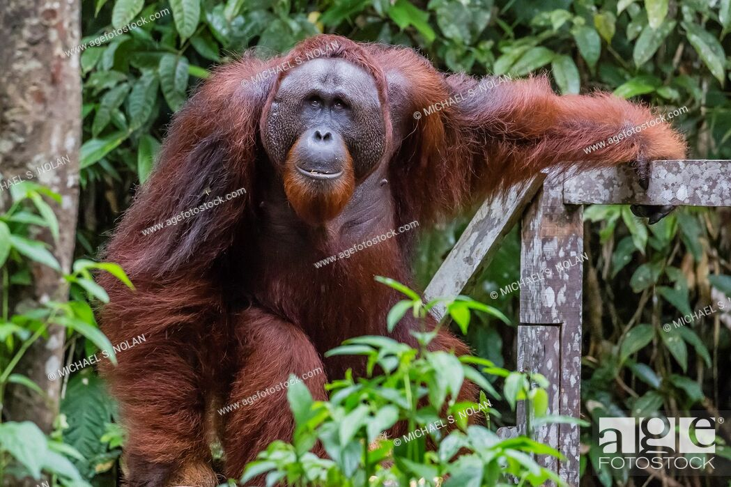 Stock Photo: Young male Bornean orangutan, Pongo pygmaeus, Semenggoh Rehabilitation Center, Sarawak, Borneo, Malaysia.
