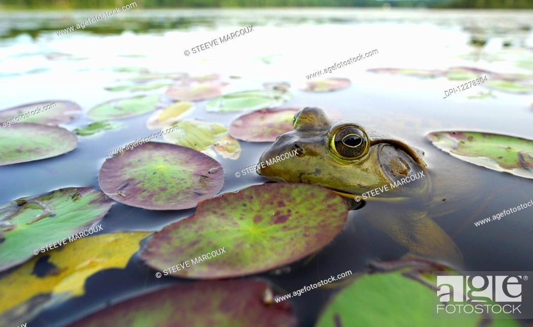 Stock Photo: Bullfrog (Lithobates catesbeianus); Lac-Bouchette, Quebec, Canada.
