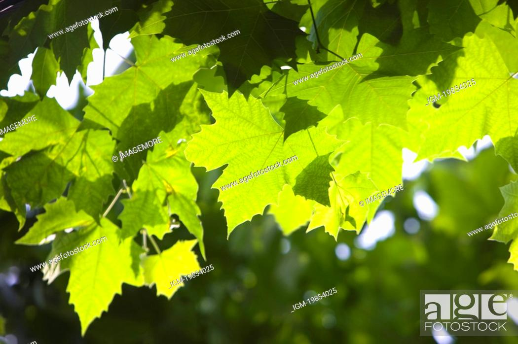 Stock Photo: Close-up of green leaves in the sunshine.