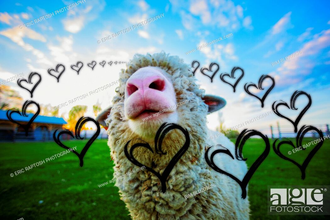 Stock Photo: Illustrated hearts around sheep in field.