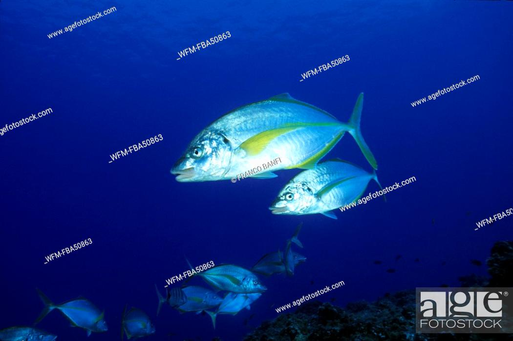 Stock Photo: couple of guelly jack, Pseudocaranx dentex, El Hierro, Canary Islands, Spain.