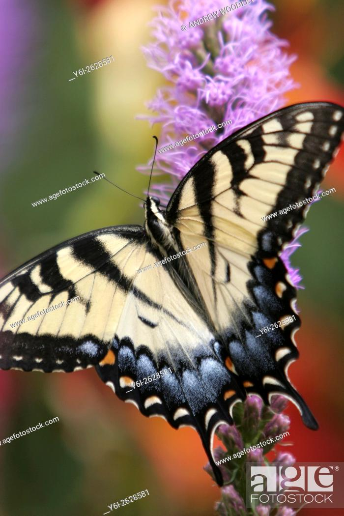 Stock Photo: Eastern Tiger Swallowtail butterfly.