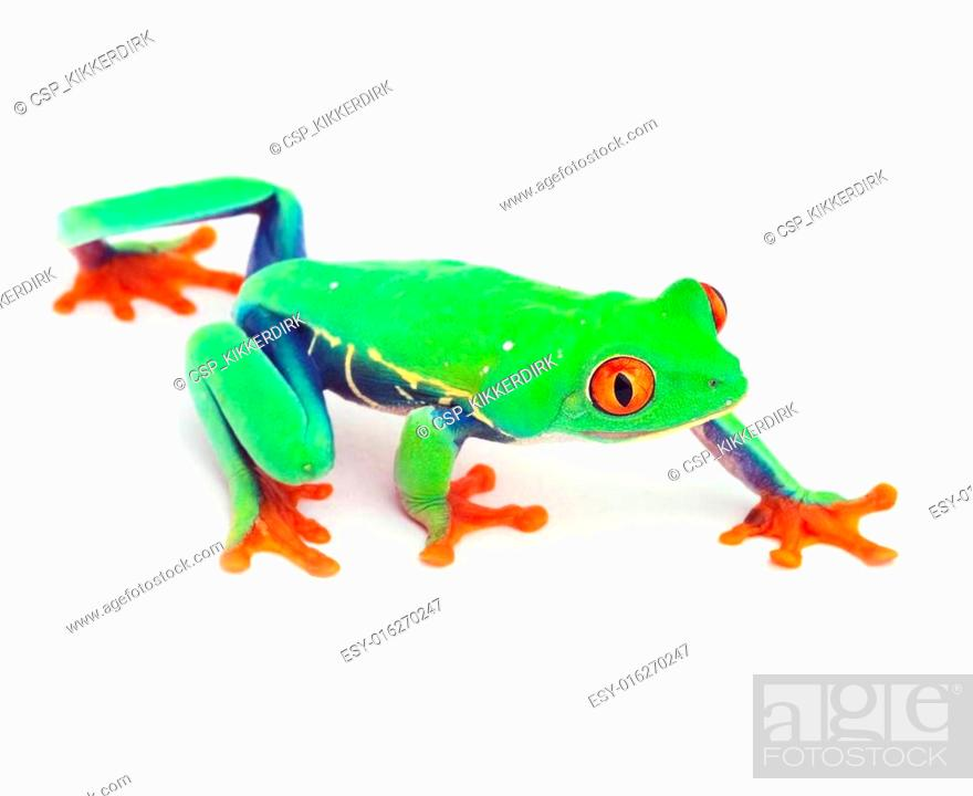 Stock Photo: red eye treefrog.
