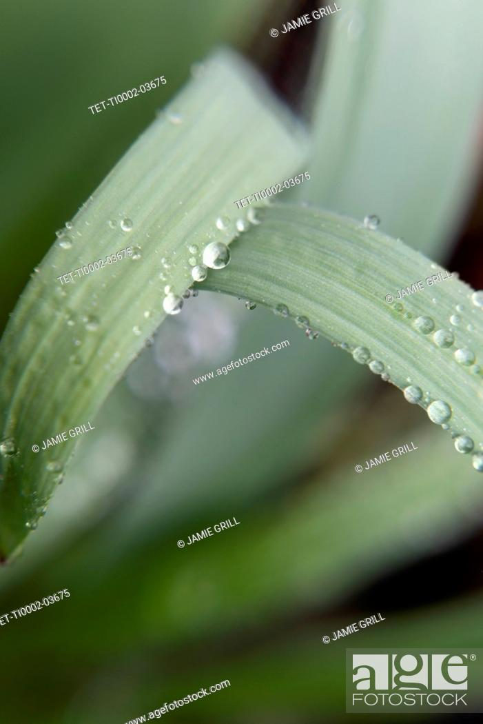 Stock Photo: Water droplets on leaves.