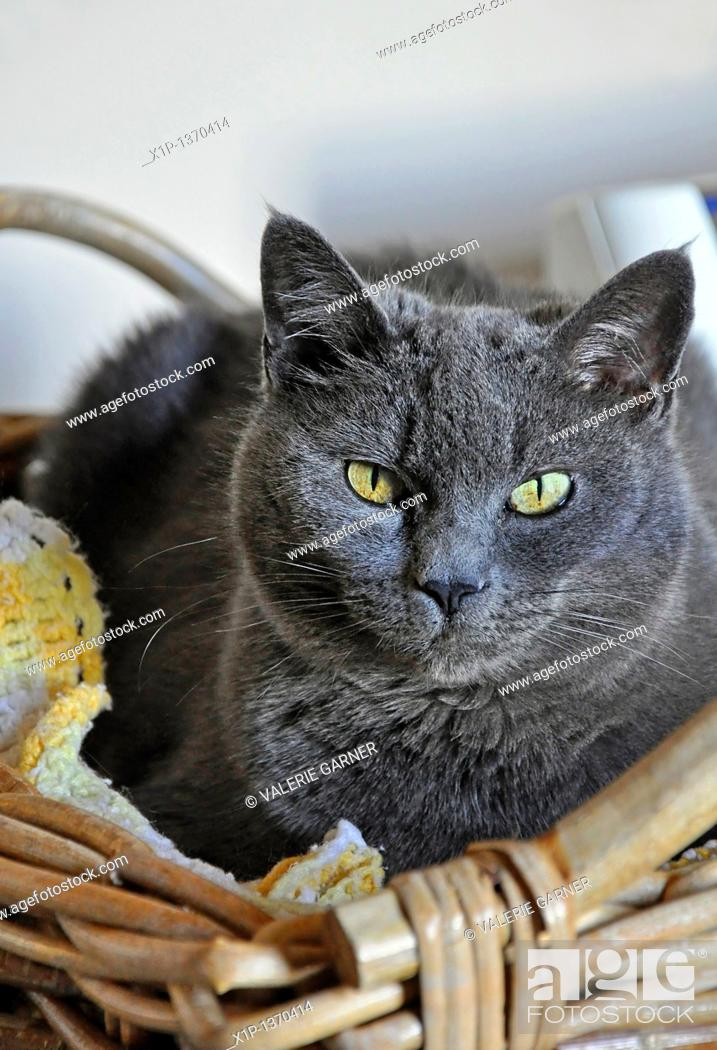 Stock Photo: This vertical stock image is a closeup of a Russian blue cat sitting in a wicker basket  Beautiful yellow greenish eyes.