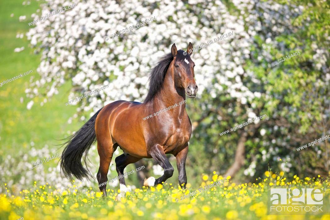 Stock Photo: Lusitano horse on meadow.
