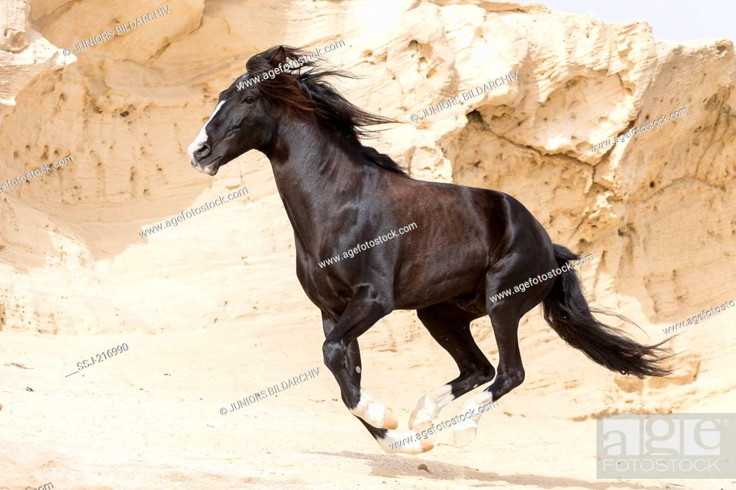 Stock Photo: Barb Horse. Black stallion galloping on a beach with rocks in background. Tunisia.