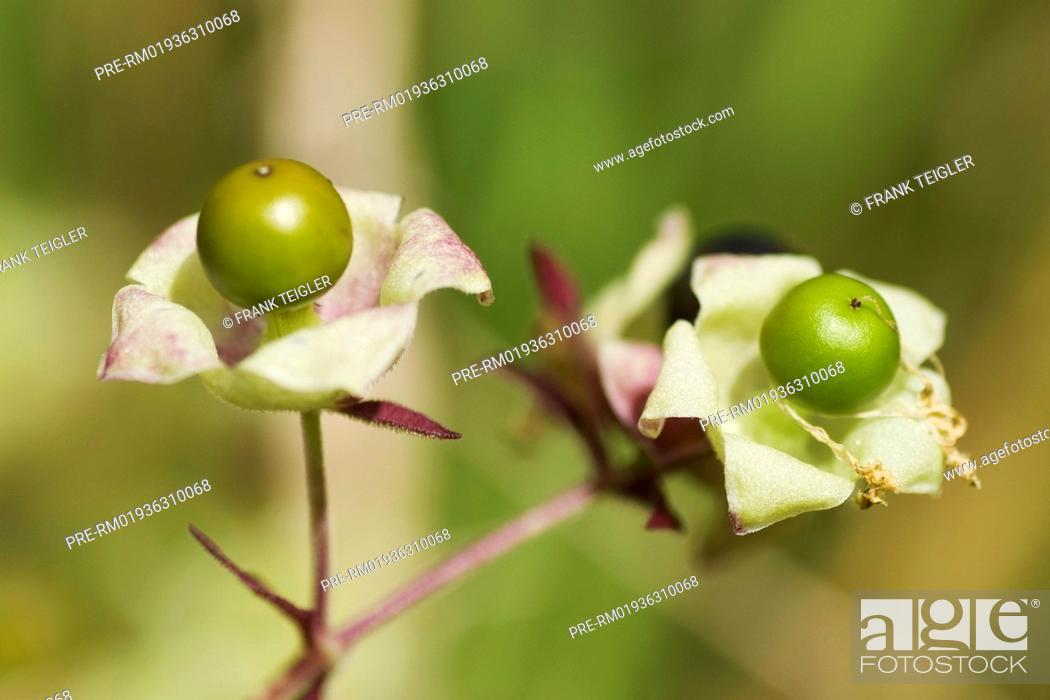 Berry Bearing Catchfly Cucubalus Baccifer Taubenkropf