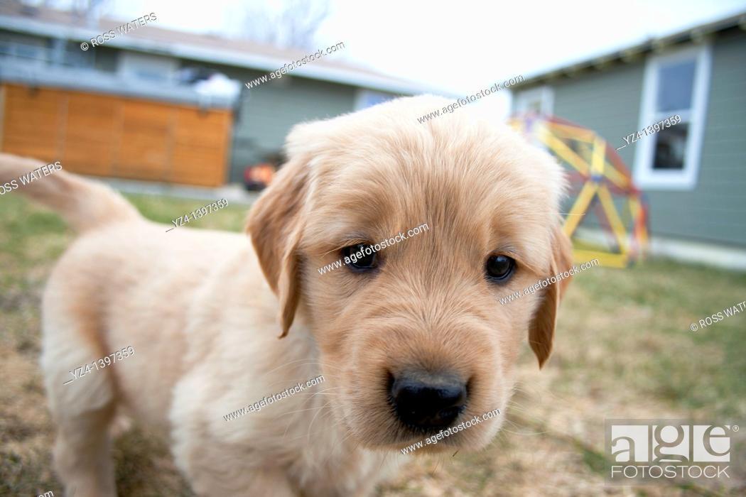 Imagen: A six-week-old Golden Retriever puppy.