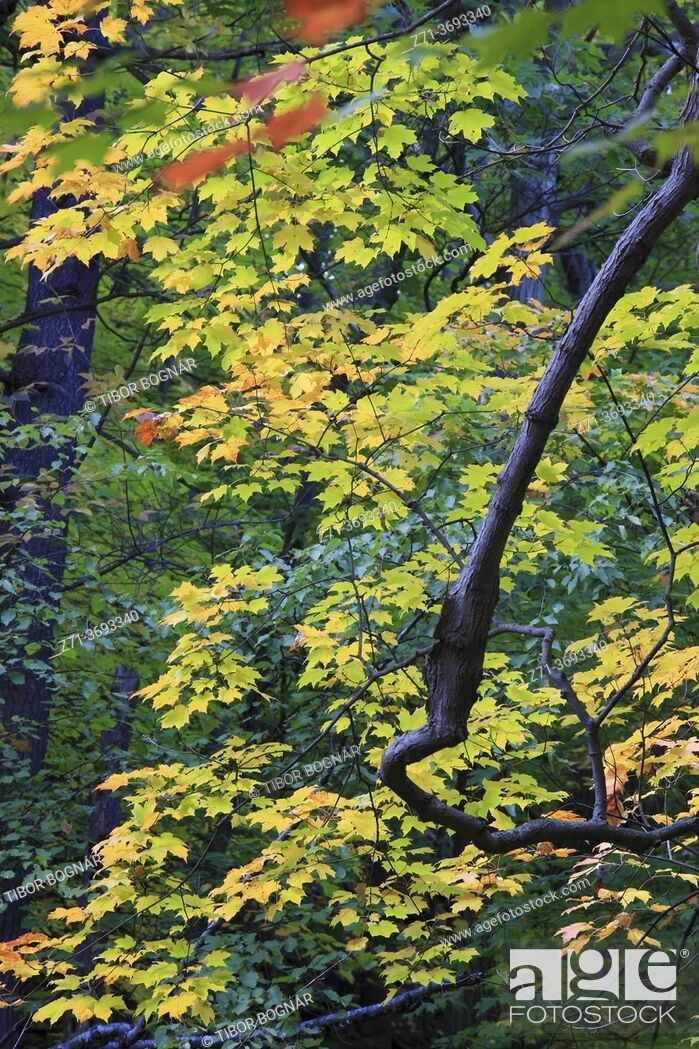 Stock Photo: Autumn leaves, maple, forest, nature, Montreal, Canada, .