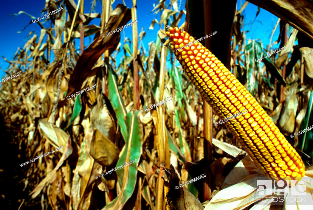 Stock Photo: Closeup of Ear of corn in field ready for harvest with blue sky in the background ,OH.