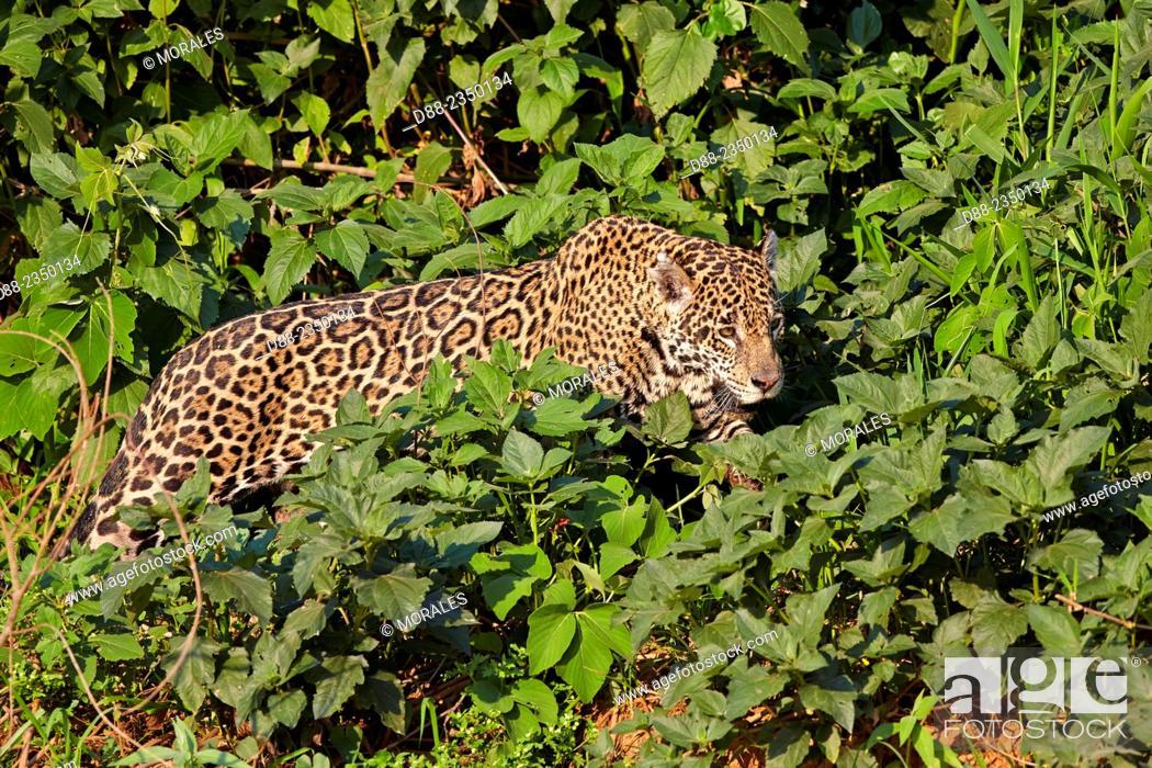 Stock Photo: South America, Brazil, Mato Grosso, Pantanal area, jaguar Panthera onca, walking.