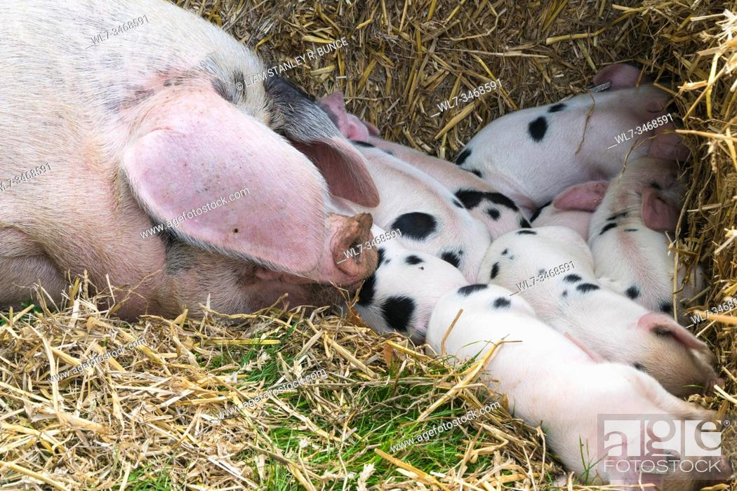 Stock Photo: Gloucestershire Old Spot sow with a litter of 8 piglets, Frampton on Severn Country Fair Gloucestershire UK. September 2019.