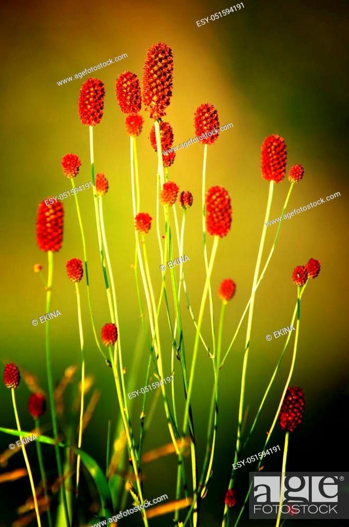 Stock Photo: Sanguisorba officinalis. great burnet. Chinese Herbal Materia Medica by Dan Bensky Di Yu. the root is used to stop bloody dysentery, nosebleeds.