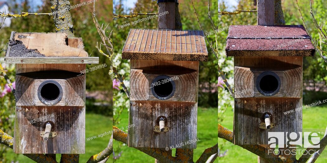 Stock Photo: Image left:.Starling nest box (Sturnus vulgaris) was looted at night by a Stone Marten or Beech Marten (Martes foina). The marten has eaten a hole into the roof.