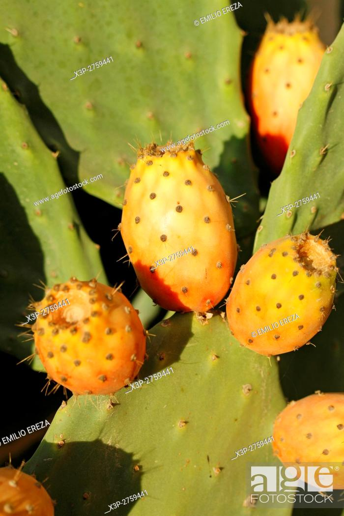 Stock Photo: Prickly pears.