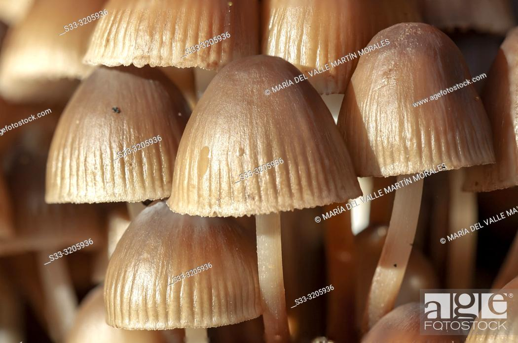 Imagen: Mushrooms (Mycena seynii) on a chestnut trunk on a autumn day. Sierra de Gredos. Avila. Spain.