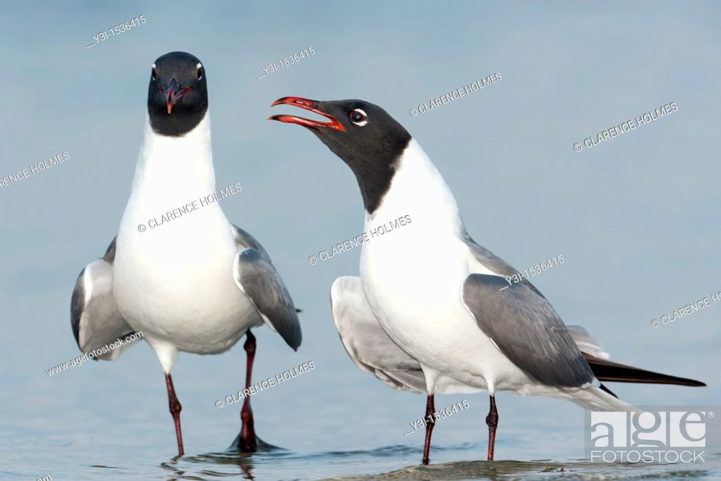Stock Photo: Laughing Gulls Larus atricilla courting on the beach at Fort Desoto Park, Tierra Verde, Florida, USA.